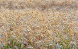 Ripe barley field Royalty Free Stock Image