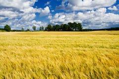 Ripe barley field Stock Photo