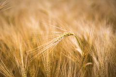 Ripe barley Stock Images