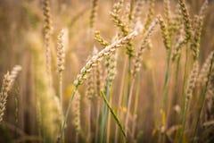 Ripe barley Stock Photos