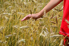Ripe barley field, person in red, hand stroking Royalty Free Stock Photo