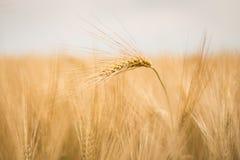 Ripe barley (lat. Hordeum) Stock Images