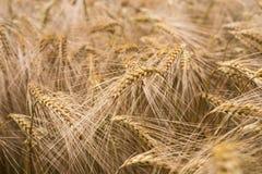 Ripe barley (lat. Hordeum) Stock Image