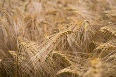 Ripe barley (lat. Hordeum). Field of ripe barley (lat. Hordeum Stock Photography