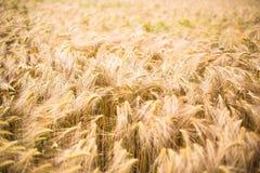 Ripe barley (lat. Hordeum). Field of ripe barley (lat. Hordeum Royalty Free Stock Images