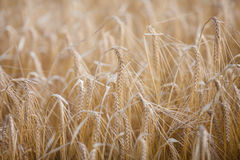 Ripe barley (lat. Hordeum) on a field lit Royalty Free Stock Photos