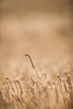 Ripe barley (lat. Hordeum) on a field lit Stock Photo