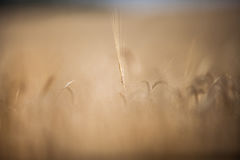 Ripe barley lat. Hordeum on a field Royalty Free Stock Image