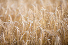 Ripe barley lat. Hordeum on a field Stock Photography