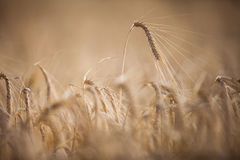 Ripe barley lat. Hordeum on a field Stock Photo