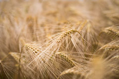 Ripe barley (lat. Hordeum) Stock Photo