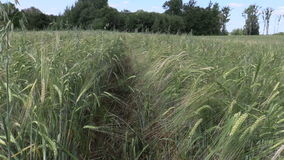 Ripe barleycorn plant crop ears move in wind stock video footage