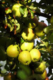 Ripe, beautiful apples on the branches of apple tree Royalty Free Stock Images