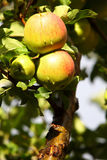 Ripe, beautiful apples on the branches of apple tree Stock Photo