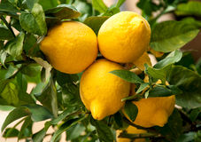 Ripe  beautiful  lemons tree Royalty Free Stock Photography