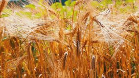 Ripe beautiful spikelets of wheat are fluttering in a wind stock video