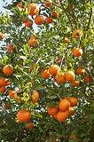 Ripe  beautiful  tangerines with leaves on  a  tree  branch Stock Photos
