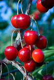 Ripe berries. Of a sweet cherry Royalty Free Stock Image
