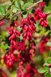 Ripe berries of barberry Stock Photos