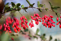 Ripe berries of barberry Stock Image
