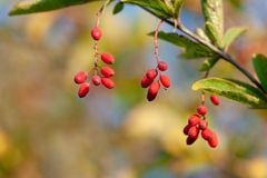 Ripe berries of barberry on a branch . Berberis vulgaris stock photo
