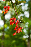 Ripe berries of barberry Stock Images