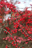 Ripe berries of barberry Royalty Free Stock Photos