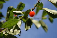 Ripe berries. Ripe berry of a shpanka, which hangs on a tree branch among the leaves Stock Images