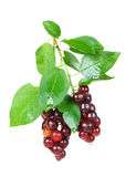 Ripe berries of the bird cherry Stock Images