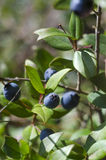 Ripe berries of black myrtle in branches of the plant in sunny d. Ay vertical frame stock photography