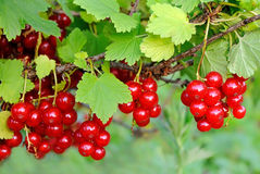 Ripe berries on a branch Royalty Free Stock Images