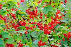 Ripe berries on a branch Stock Image