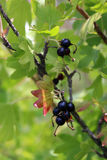 Ripe berries on the branches of Jost Royalty Free Stock Image