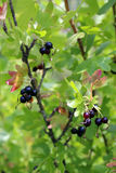 Ripe berries on the branches of Jost Royalty Free Stock Photography
