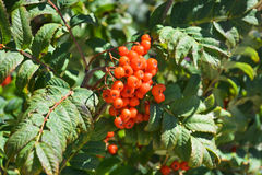 Ripe berries on the branches of a mountain ash tree.  Royalty Free Stock Photo