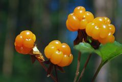 Ripe berries cloudberry Royalty Free Stock Photo