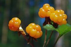 Ripe berries cloudberry Royalty Free Stock Photo