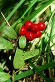 The ripe berries of cowberries. The ripe berries of cowberries in the forest. The time of harvest Stock Photos