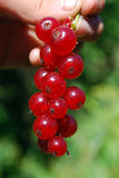 The ripe berries of cowberries. The ripe berries of cowberries in the forest. The time of harvest Royalty Free Stock Photography