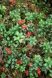 The ripe berries of cowberries Stock Images