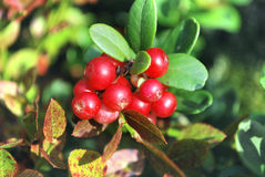 The ripe berries of cowberries. In the forest. The time of harvest Royalty Free Stock Photos