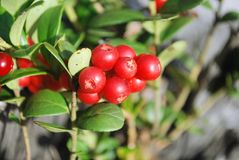 The ripe berries of cowberries. In the forest. The time of harvest Stock Photos
