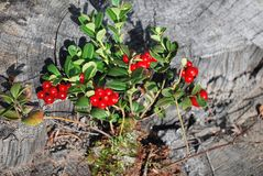 The ripe berries of cowberries. In the forest. The time of harvest Stock Images