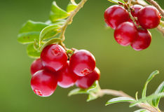 Ripe berries of cowberries growing in the forest. Closeup shot Stock Image