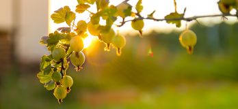 Ripe berries of a gooseberry on a branch in the rays and faces of the setting sun stock photos