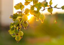 Ripe berries of a gooseberry on a branch in the rays and faces of the setting sun stock photography