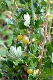 Ripe berries of gooseberry in the garden closeup Stock Image