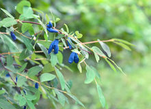 Ripe berries on honeysuckle bush in garden Royalty Free Stock Photography