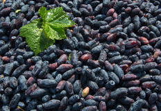 ripe berries of honeysuckle Stock Image