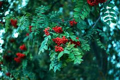 Ripe berries of mountain ash, grow on a tree, autumn red berries, close-up, vintage style in a park. Ripe berries of mountain ash, grow on a tree, autumn red Royalty Free Stock Photography